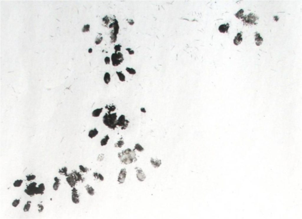 Baby Hedgehog Footprints