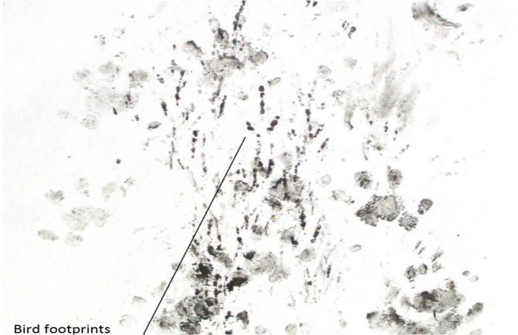 Hedgehog footprints vs. bird footprints