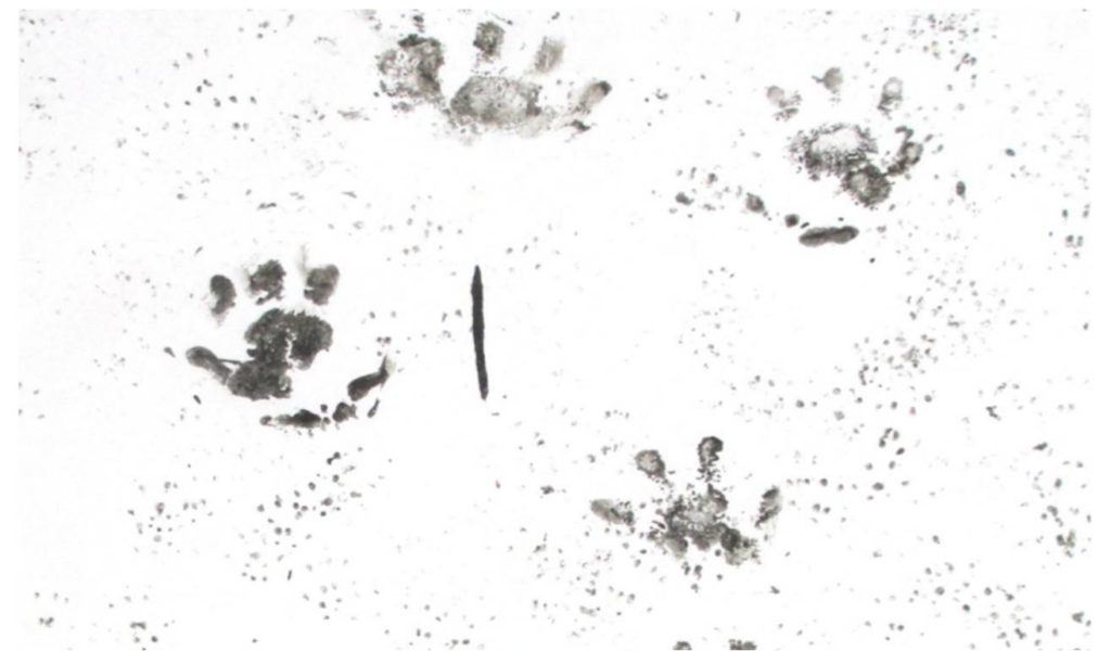 Hedgehog Footprints Vs. Small Rodents Footprints