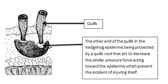 Hedgehog Spine Cross Section Diagram (Quill)
